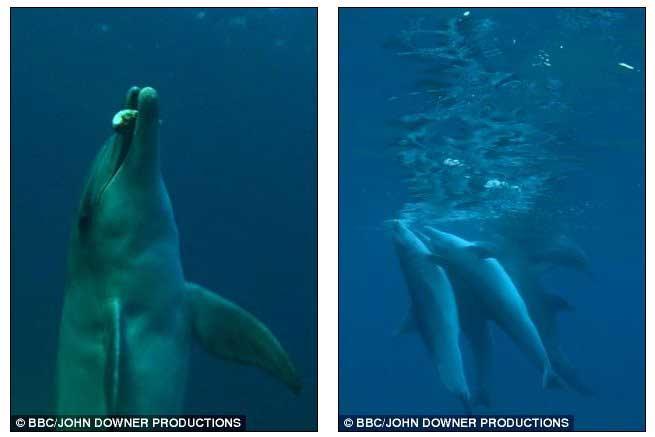 delfines entran en trance con las toxinas del pez globo