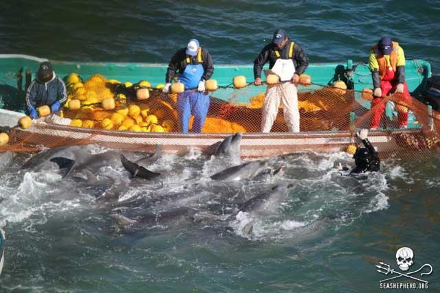 delfines apresados en Taiji