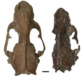 fósil de Enaliarctos emlongi