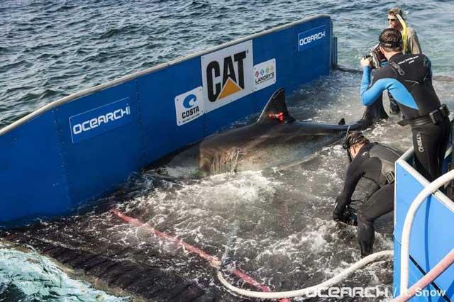 etiquetado de un tiburón blanco