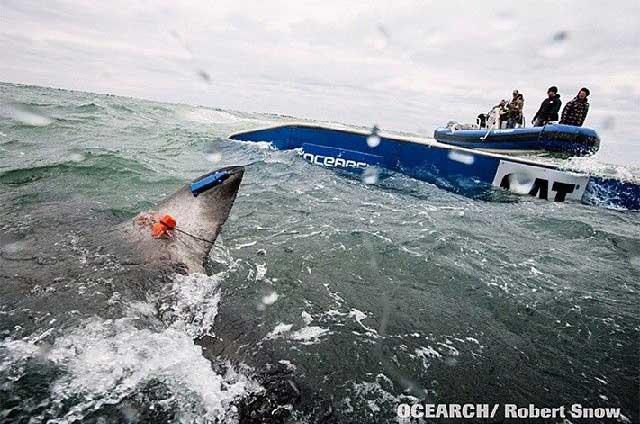 etiquetado de un gran tiburón blanco