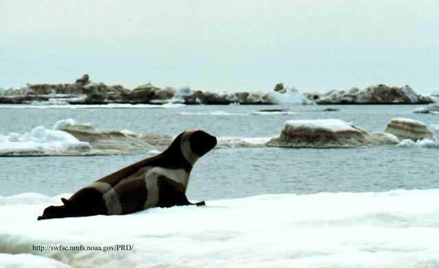 foca del hielo listada