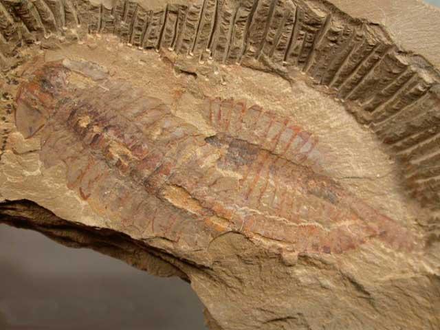 fósil de Fuxianhuia protensa