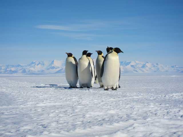 grupo de pingüinos emperador
