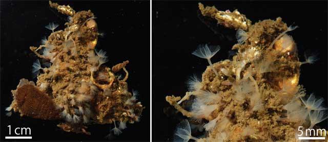 gusano de herradura (Phoronis ijimai)