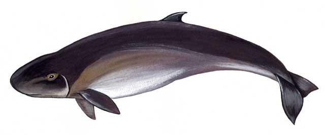 cachalote pigmeo (Kogia breviceps)