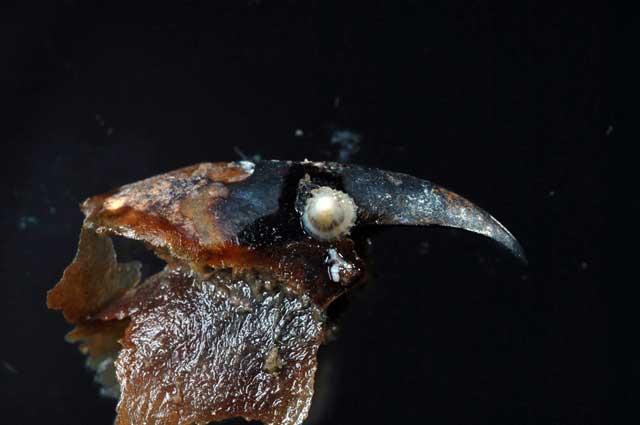 lapa Bathysciadiid se alimenta en el pico de un pulpo