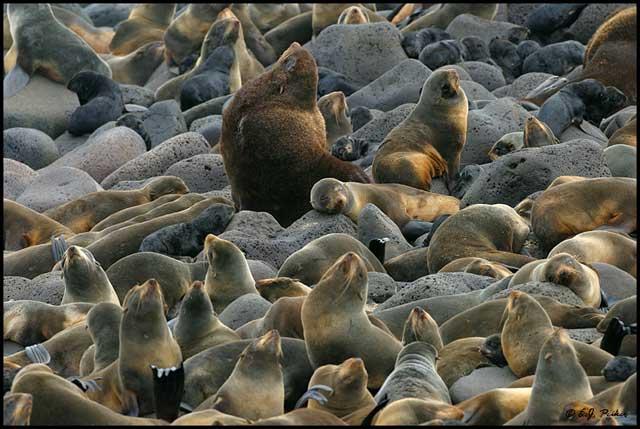 lobo marino del norte