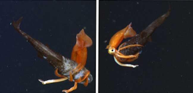 lucha entre un calamar y un pez búho