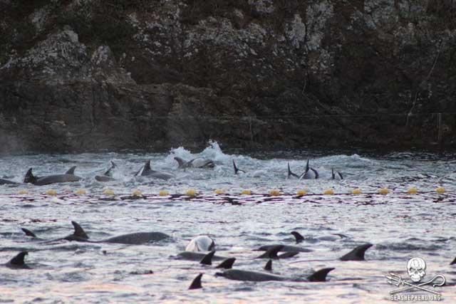 manada de delfines acorralados en Taiji