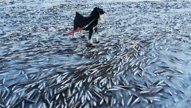 mar congelado mata miles de peces en Noruega