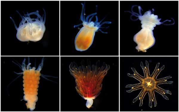 transformación de la medusa luna (Aurelia aurita)
