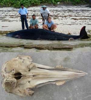 ballena picuda Mesoplon hotaula