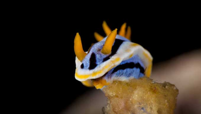nudibranquio de Anilao, Filipinas