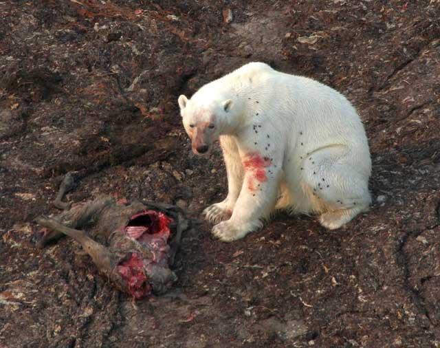 oso polar se alimenta de un caribú