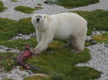 oso polar caza en tierra