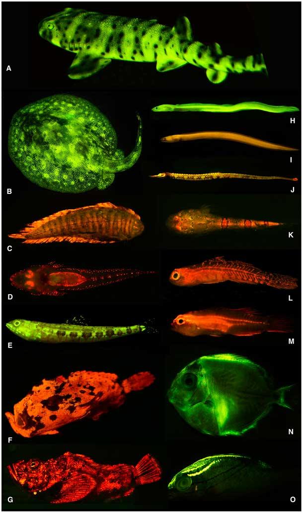 peces biofluorescentes