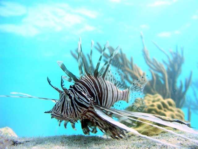pez león en las Bahamas