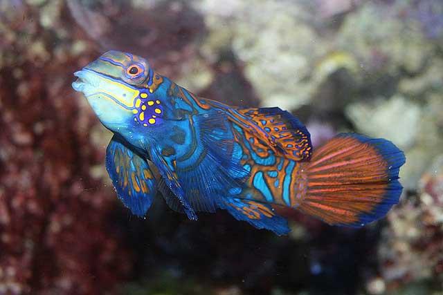 pez madarín