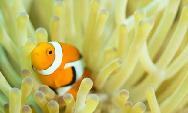 pez payaso en una anémona