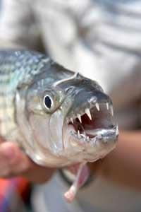 pez tigre africano (Hydrocynus vittatus)