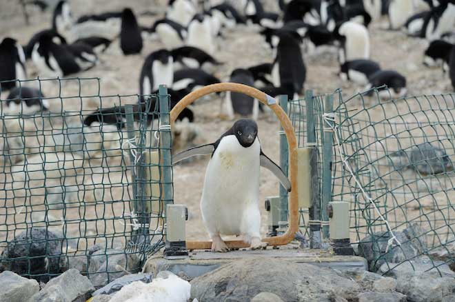 pingüino de adelia en Cabo Crozier