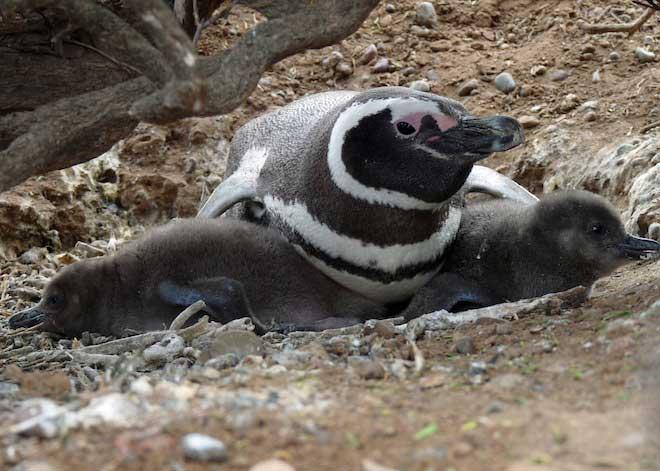 pingüino de Magallanes y dos crías