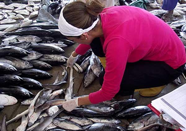 Rima Jabado examinando pescado