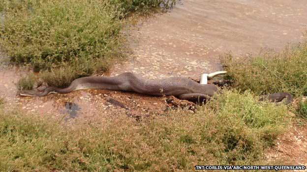 Serpiente se come cocodrilo en Australia