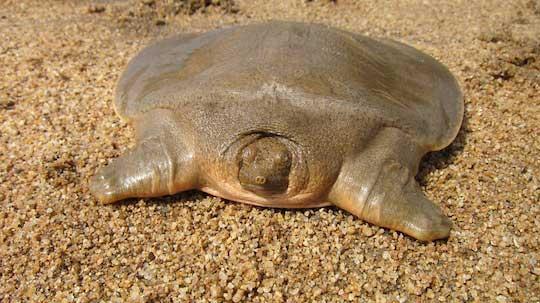 Tortuga gigante de caparazón blando de Cantor