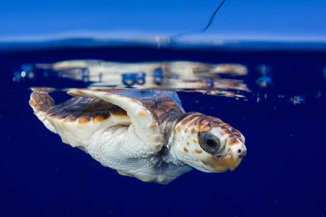 transmisor por satélite en una tortuga marina