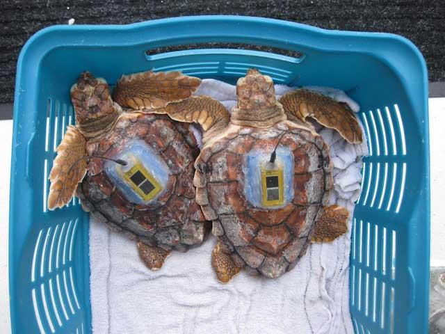 transmisor por satélite en dos tortugas marinas