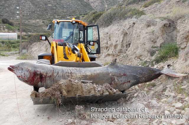 zifio enterrado en Creta