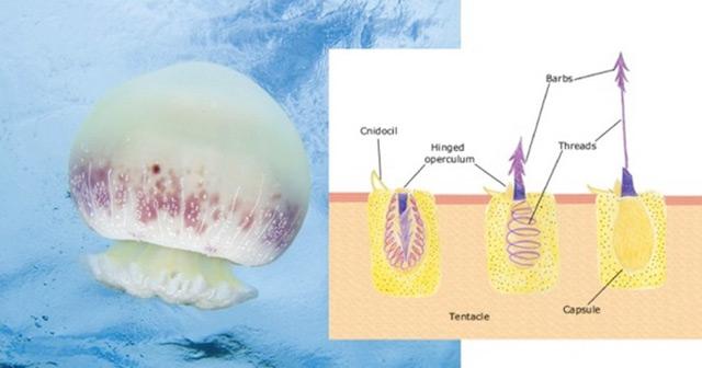 alimentación de las medusas