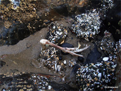 Anémona devora la pata de una gaviota