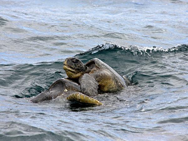 apareamiento de la tortuga verde (Chelonia mydas)