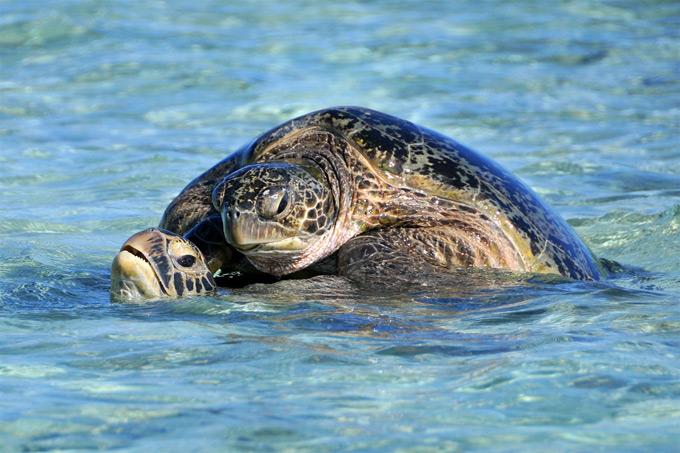 apareamiento tortugas marinas