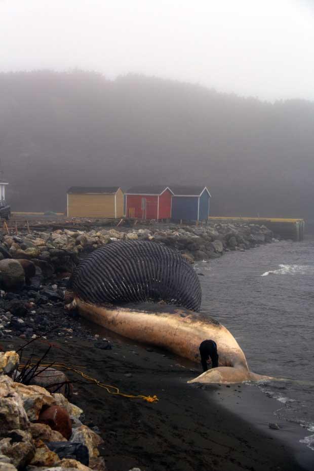 ballena azul varada en Terranova