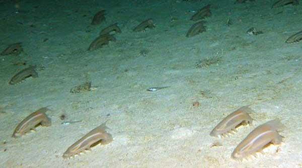 agregación de cerdos de mar (Scotoplanes globosa)