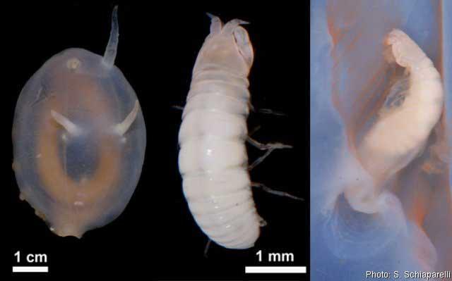 parásitos del cerdo de mar (Scotoplanes globosa)
