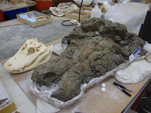 cráneos de aligator y dyrosaurus
