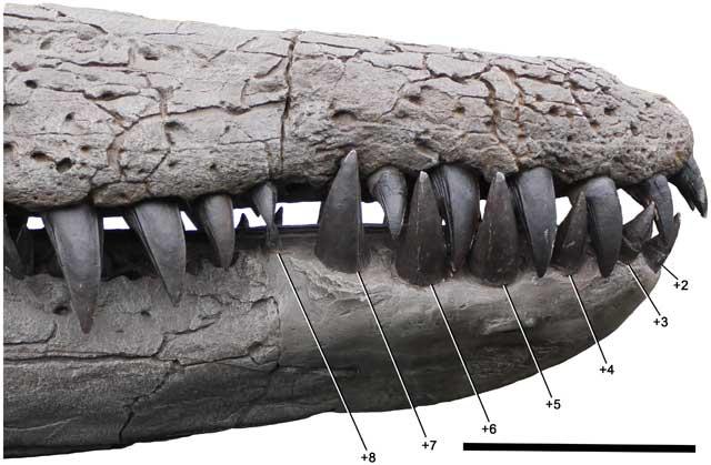 dientes del Pliosaurus kevani