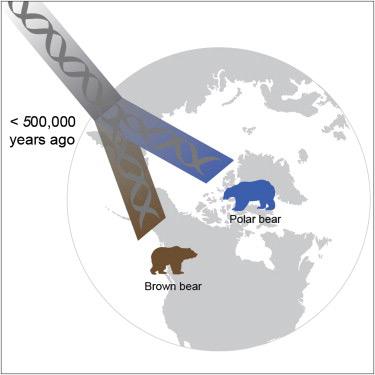 división del oso polar y el pardo