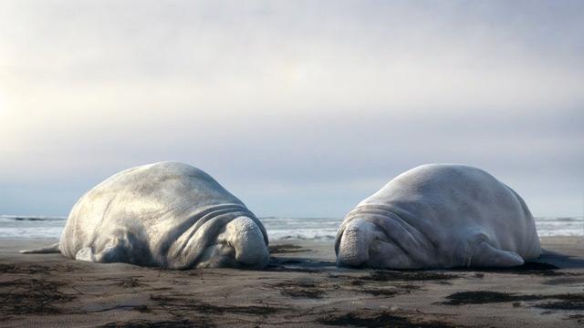 corto animado sobre elefantes marinos