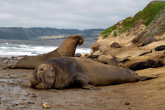 elefantes marinos en California