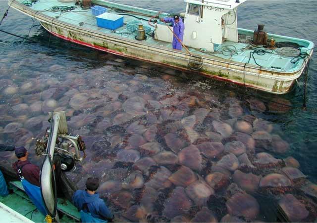 florecimiento de medusas en Japón