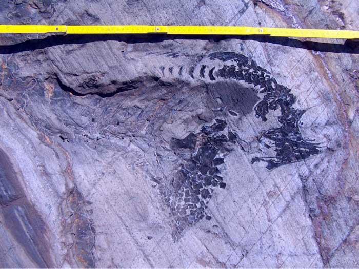 fósil de ictiosaurio bajo glaciar Tyndall, Chile