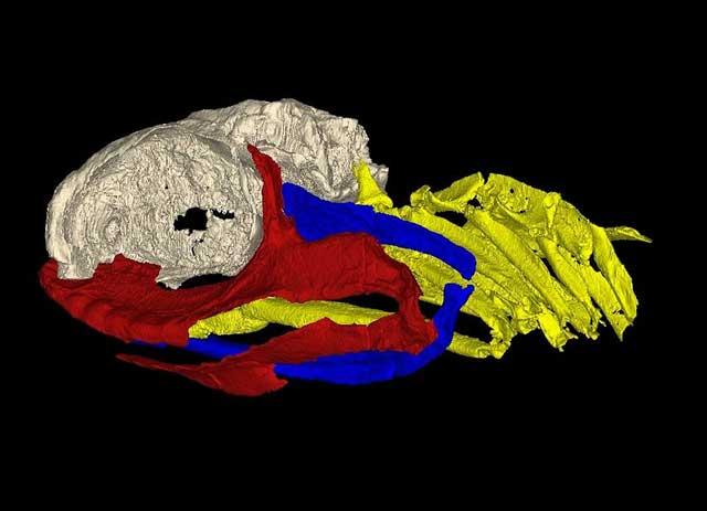fósil de Izarcus mapesae