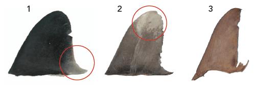 identificación de aletas de tiburon