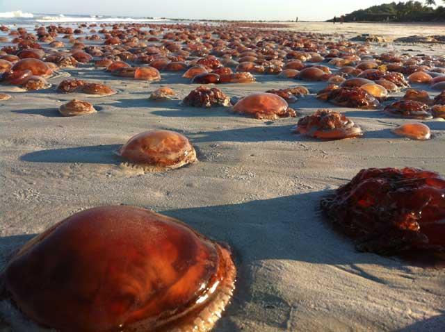 invasión de medusa tomate de mar